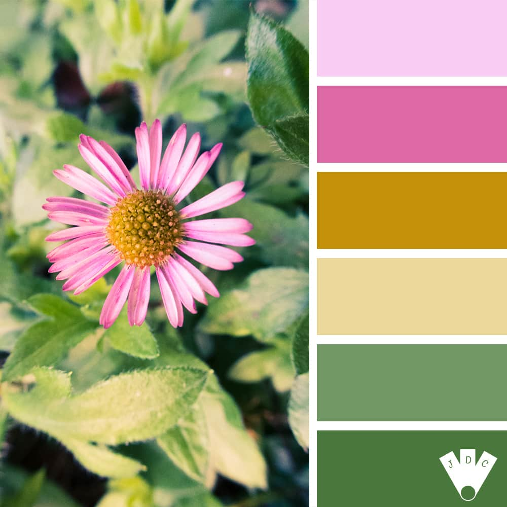 Color palette d'une pâquerette rose. Photo de Callistta Photographie