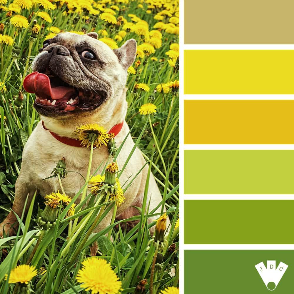 color palette à partir d'une photo d'un bulldog au milieu des pissenlits