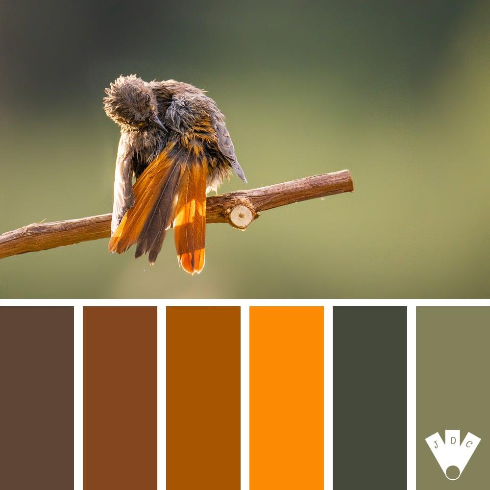 Color palette à partir d'une photo d'un rougequeue noir par la photographe Nath photos